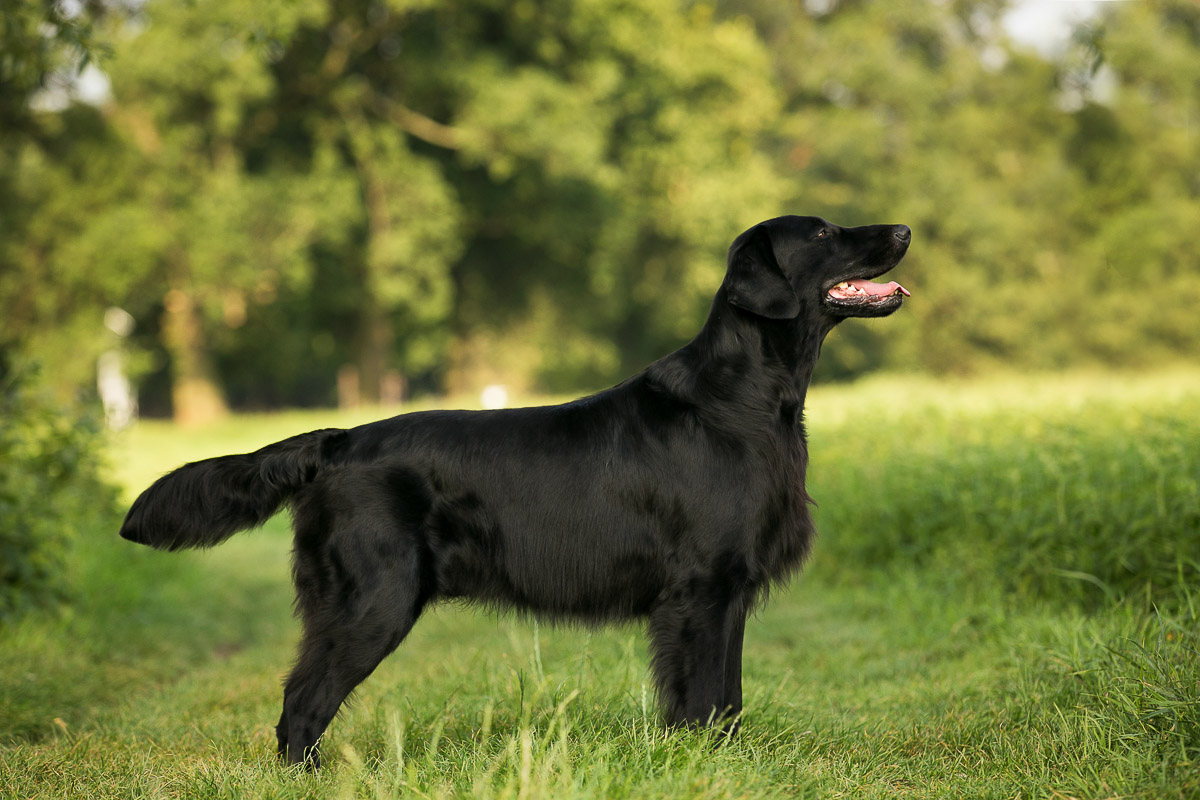 Connor Highlandflats Flat Coated Retriever